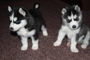 очаровательные щенки хриплым нужен новый дом