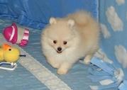 Предлагаем роскошных щенков померанского шпица редких окрасов