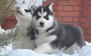 два сибирские хаски щенки
