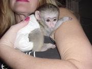 Капуцинов обезьяна  c